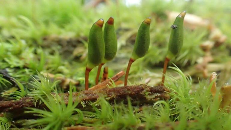 Bilde av mosen grønnsko