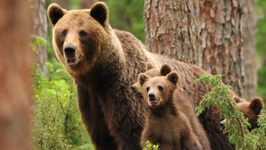 A mother with cubs-of-the-year.