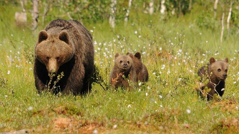 A mother with cubs-of-the-year. Photo: Siegfried Klaus / Scandinavian Brown Bear Research Project
