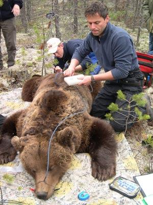 Andreas Zedrosser måler kroppsfettandel av en stor hannbjørn. Foto