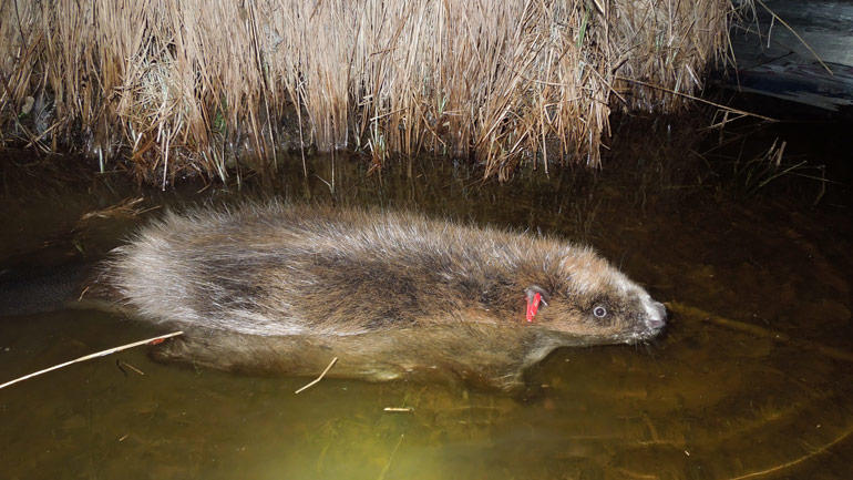 The beaver spends less than three percent of their time diving, and they stay under water for about 30 seconds, research shows from Patricia Grafs doctorate thesis.