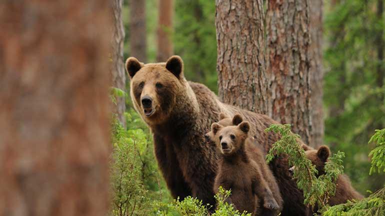 Brown bear. Photo