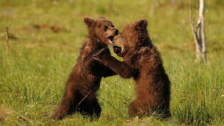 Bear cubs. Photo.