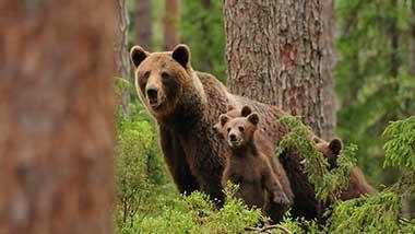 Brown bears. Photo
