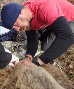 Bilde av Shane Frank som undersøker en bjørn.