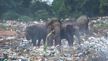 Elephants eating waste in Sri Lanka. Photo: iStock/rudiuks