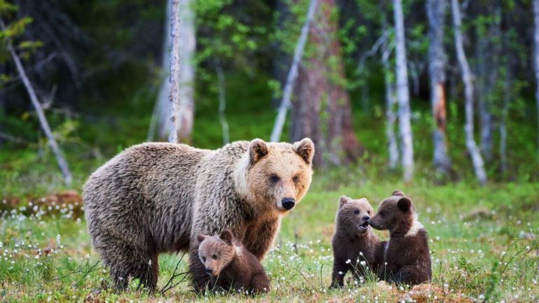 Brunbjørn binne med unger. Foto: iStock/LuCaAr