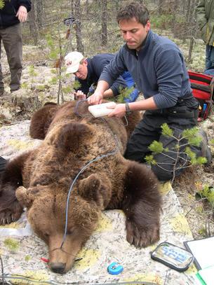 Andreas Zedrosser undersøker kroppsfettet hos en bjørn. Foto: Sven Brunberg