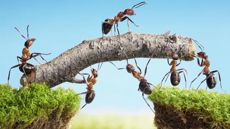 Maur som samarbeieder. Illustrasjon