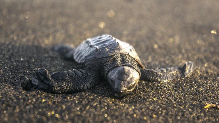 Nærbilde av nyklekket havskilpadde på stranda i Guatemala.