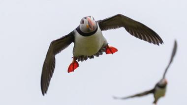 lundefugler i svevet. foto